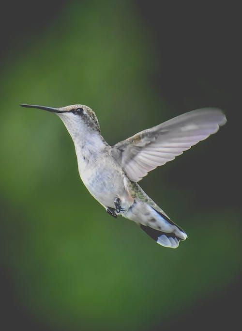 Tiny gray hummingbird flying in nature