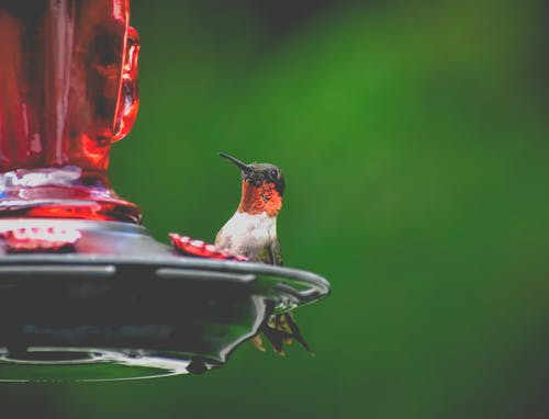 Cute tiny ruby throated hummingbird sitting on red glass bird feeder against blurred green nature