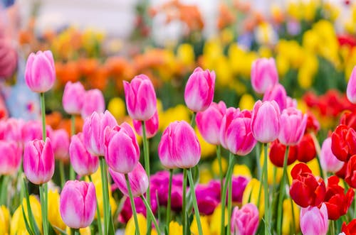 A Garden of Tulips Flower in Bloom