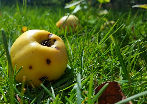 Free stock photo of apples, august, autumn