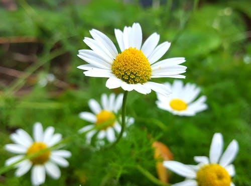 Free stock photo of close-up, closeup, daisies