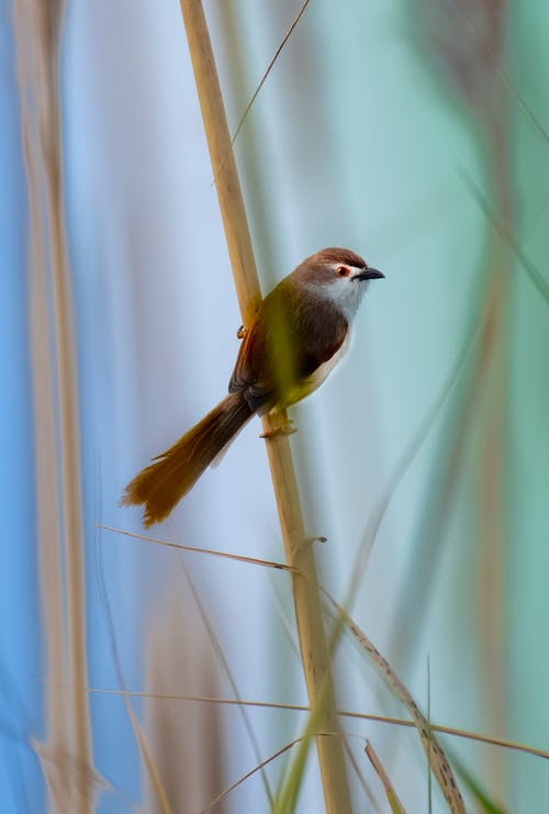 Small yellow eyed babbler with long tail on thin stalk in soft focus