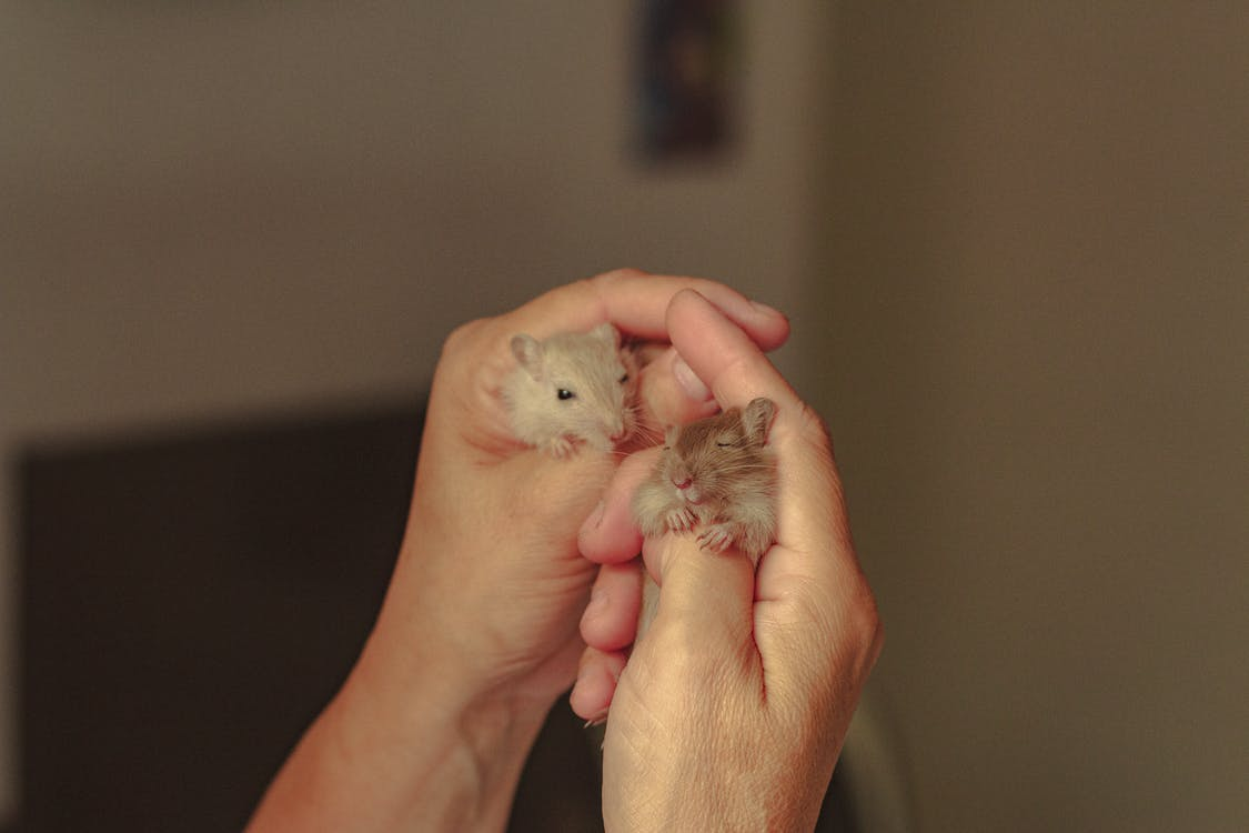 Person Holding Small Hamsters in hands