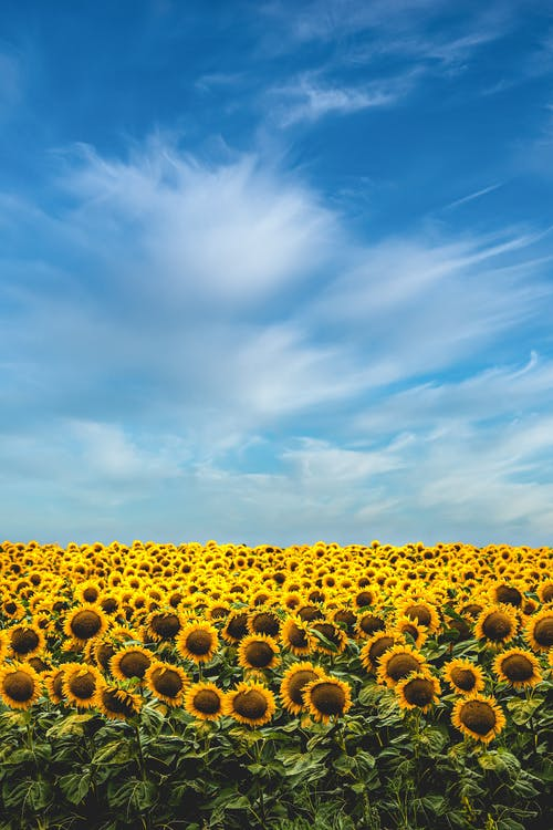 Yellow Sunflower Field Under Blue Sky and White Clouds