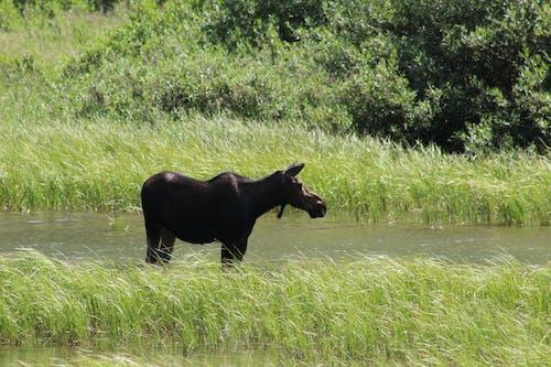 Free stock photo of animal, glacier, moose, national park
