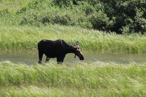 Free stock photo of animal, moose, wildlife