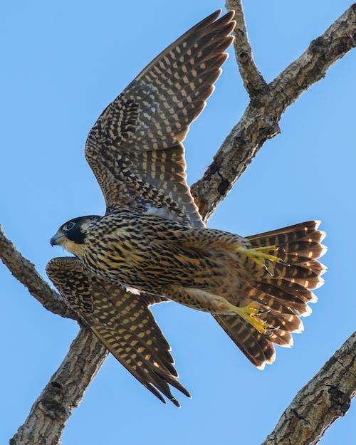 Бесплатное стоковое фото с воздушный змей, дикая природа, дикий, добыча