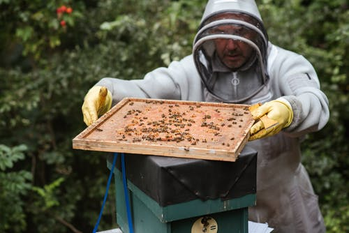 Man harvesting honey in apiary with bees