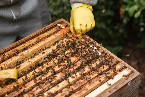 Crop anonymous farmer in gloves and protective uniform holding honeycomb in beehive while working in apiary