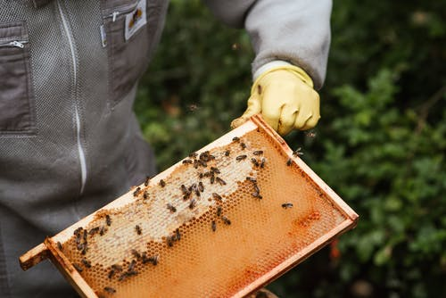Crop unrecognizable farmer in protective gloves holding honeycomb with bees and honey while working in apiary