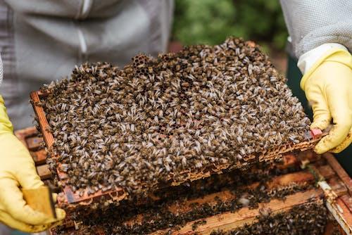 Урожай пчеловод, показывая соты с пчелами