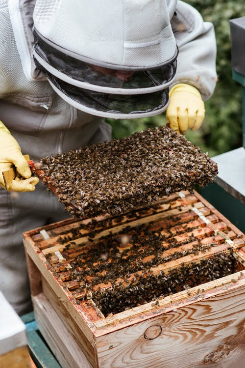 Faceless beekeeper checking honeycomb in apiary