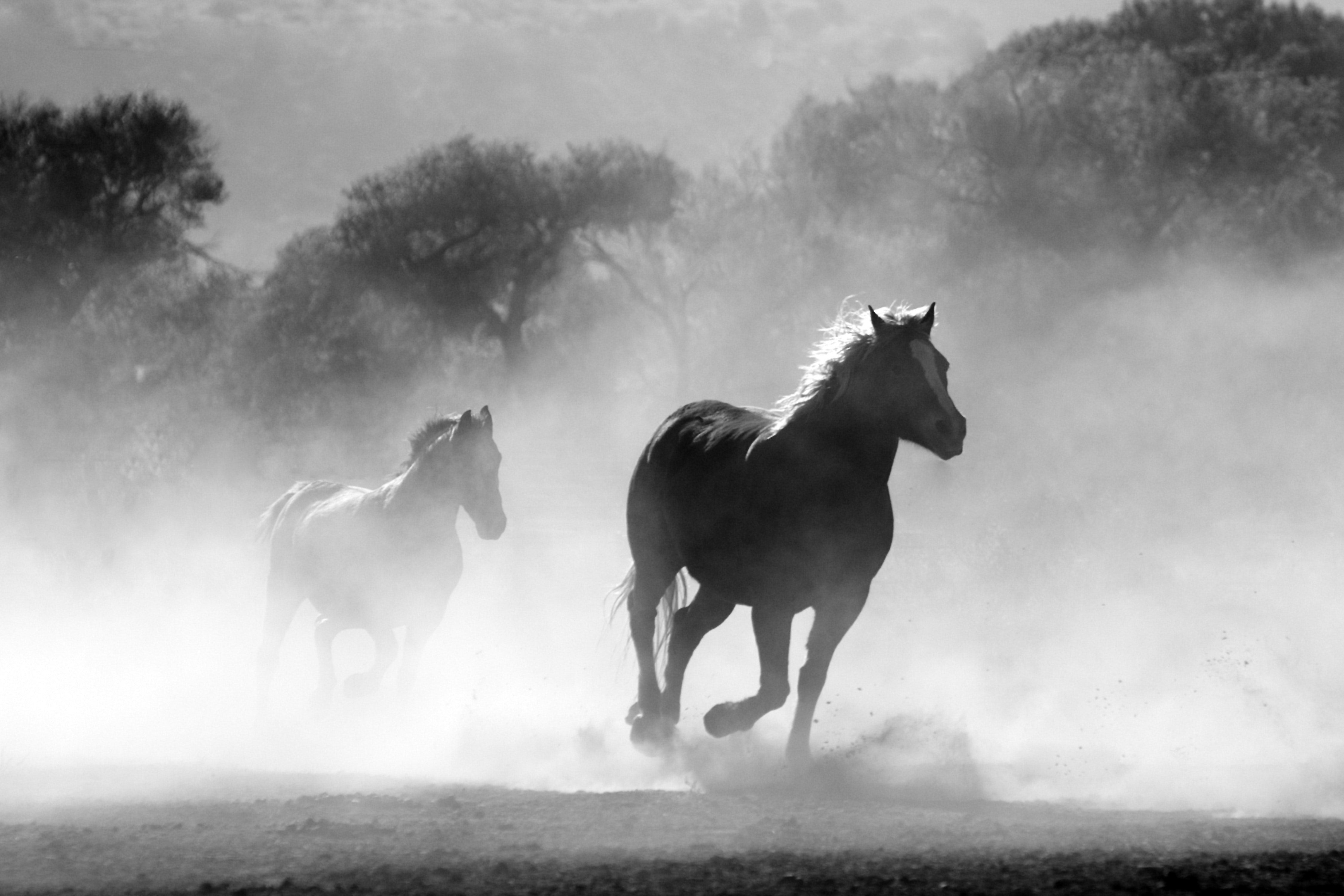 Brown And White Stallions Running In A Field Free Stock Photo