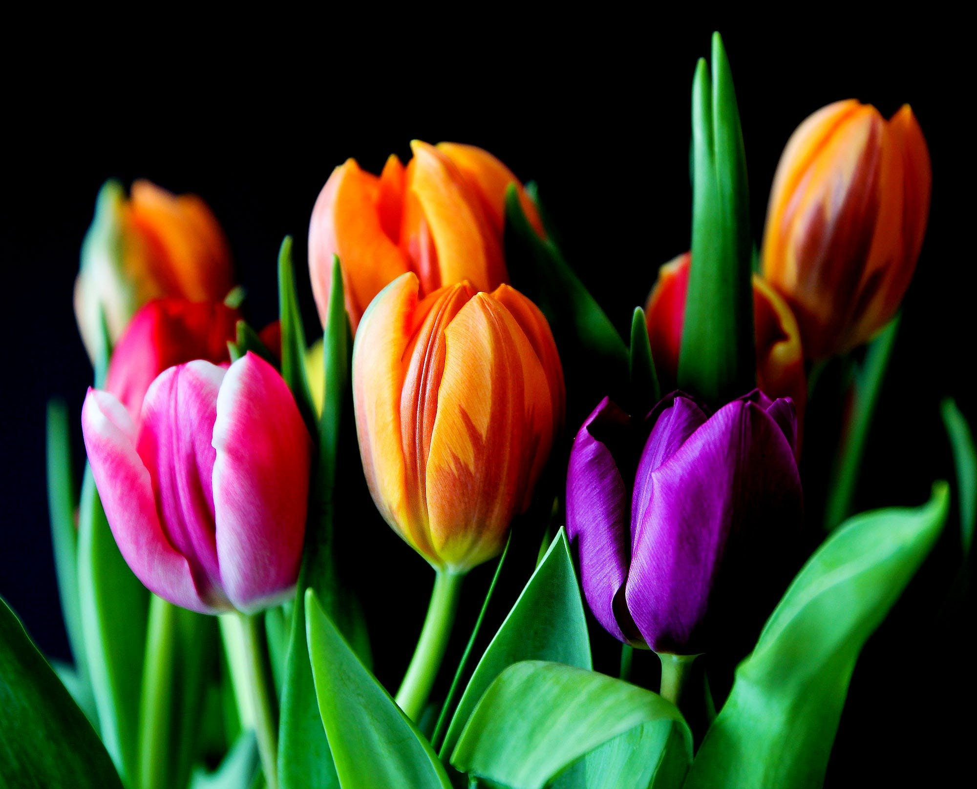 Yellow Pink and Violet Tulips