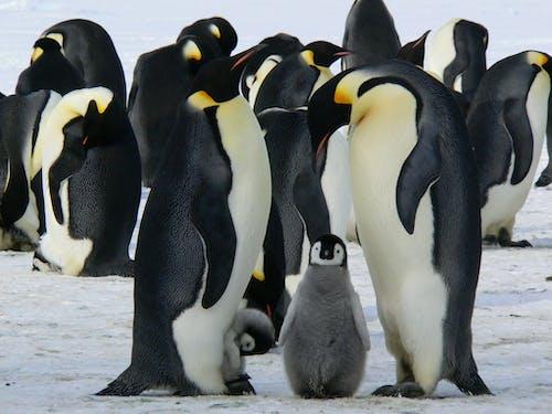Ilmainen kuvapankkikuva tunnisteilla eläimet, flunssa, jää, keisari pingviinit