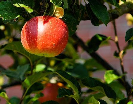 Red Apple on Tree in Tilt Shift Lens