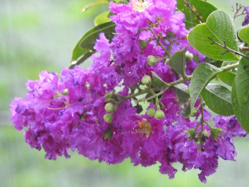 Free stock photo of flowers, purple flowers