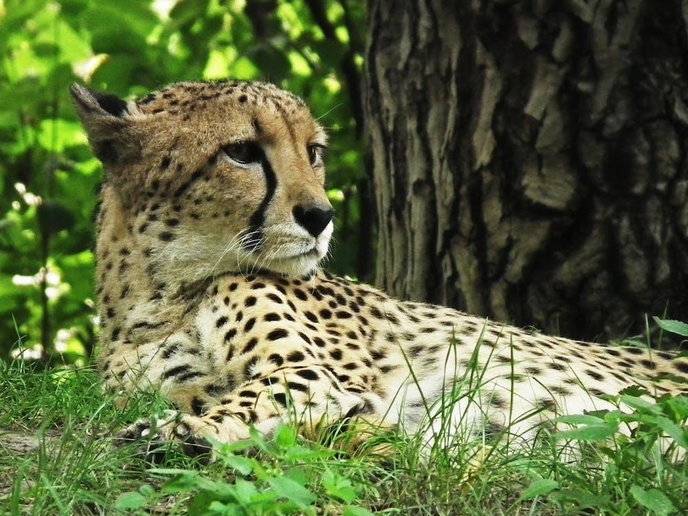 Cheetah Lying on Green Field