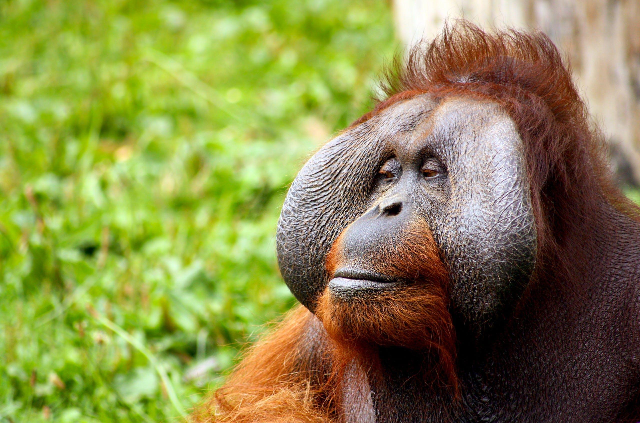 Ilmainen kuvapankkikuva tunnisteilla apina, eläin, karvainen, oranki