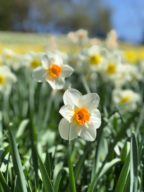 White and Yellow Daffodils in Bloom