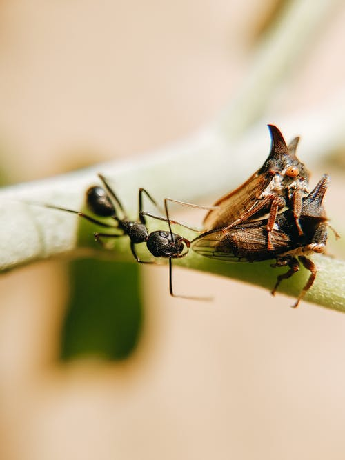 Macro Photography of a Black Ant Next to Thorn Bugs