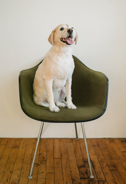 White purebred dog with tongue out on chair
