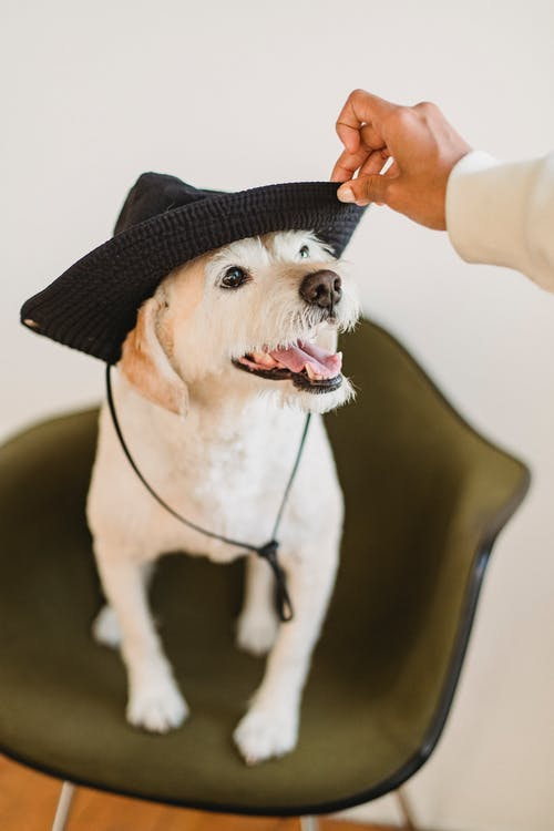 Funny dog with tongue out wearing hat sitting on chair