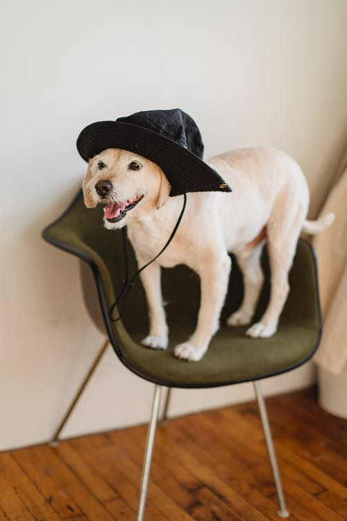 Funny little puppy in hat with tongue out standing on chair in cozy light room