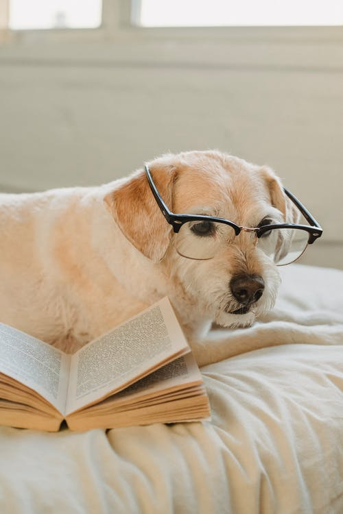 Adorable white dog in glasses lying on light blanket with opened book and looking down