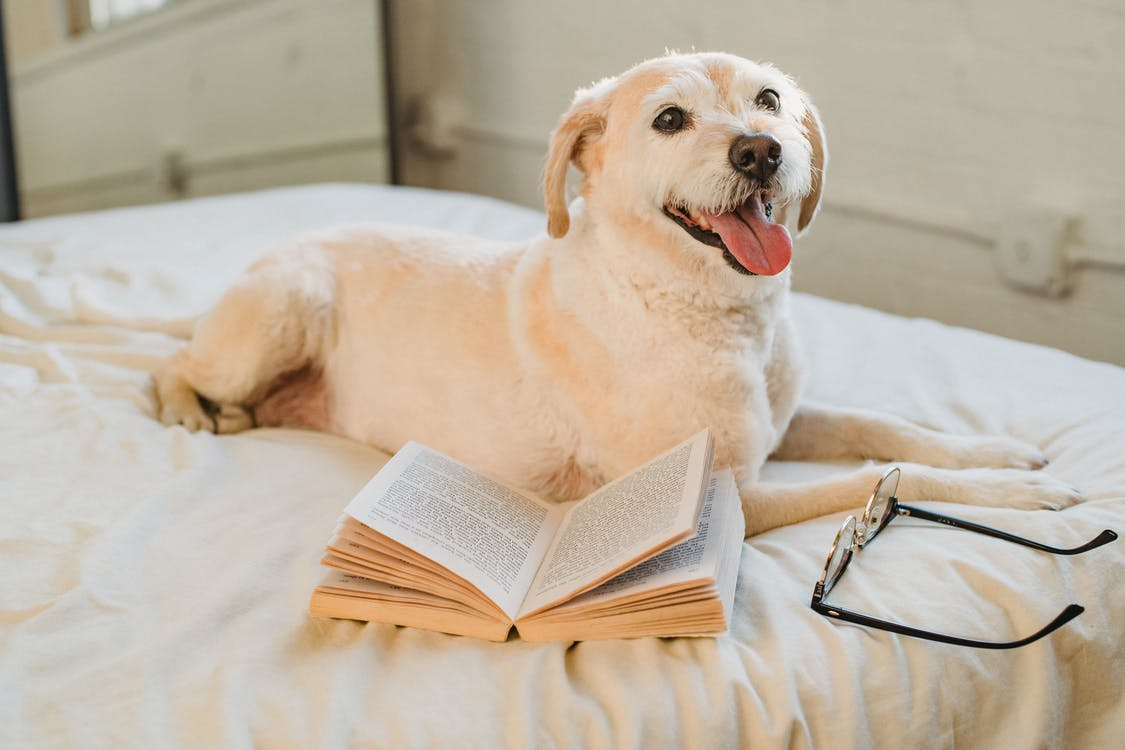 Happy Labrador Retriever lying on bed with eyeglasses and book