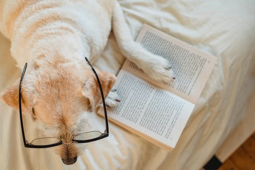 Top view adorable Labrador Retriever in eyeglasses lying on cozy bed with opened book in light bedroom