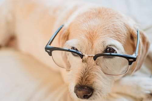 Smart dog in eyeglasses resting on cozy bed at home