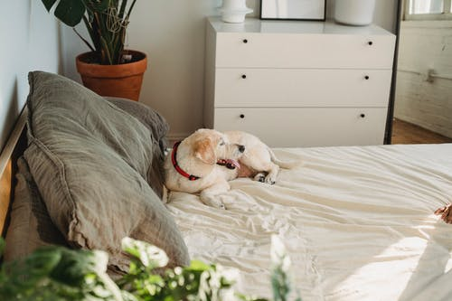 Content dog in collar lying with tongue out on crumpled bed sheet near pillows in house in sunlight