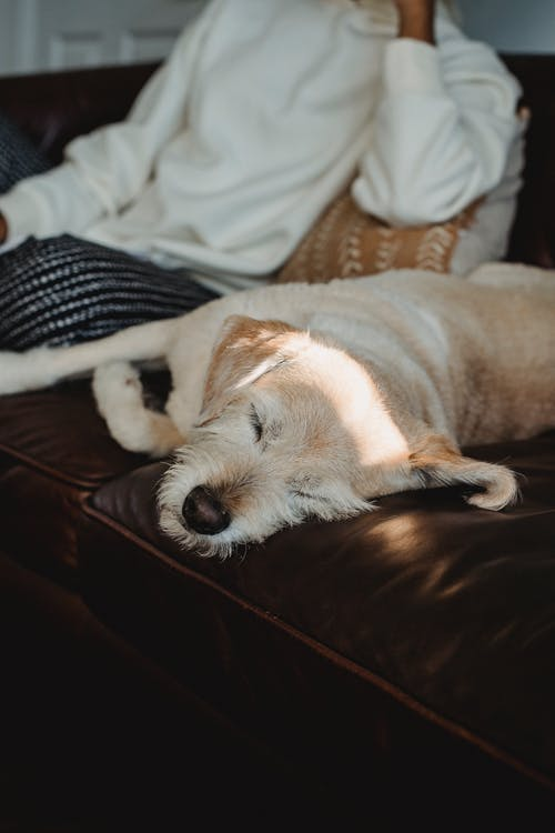 Adorable dog sleeping on sofa with unrecognizable African American female in casual outfit at home in daytime