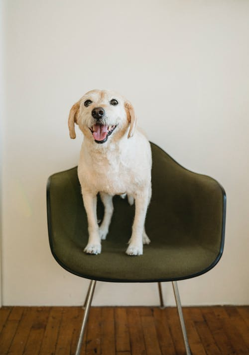 Full body big dog relaxing on comfortable chair while looking at camera at home on white background