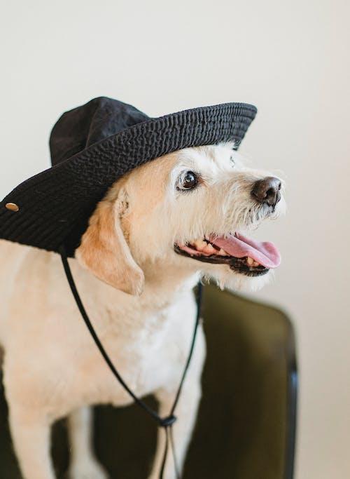 Chú Chó Dễ Thương Hạnh Phúc Với Chiếc Mũ Thè Lưỡi