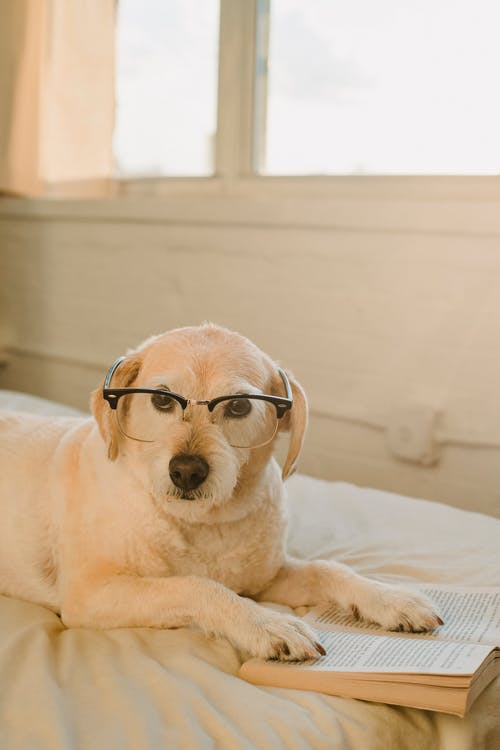 Cute obedient puppy with eyeglasses lying on soft bed with paws on book and looking at camera