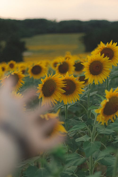 Crop person outstretching hand towards yellow sunflowers field