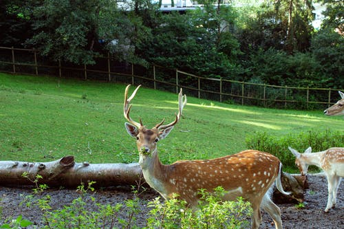 Free stock photo of animal photography, fallow deer, green nature, hiking