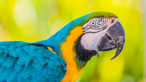 Closeup of vivid macaw parrot with vibrant blue and yellow plumage on blurred background
