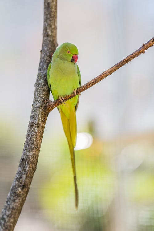 Female of colorful ring necked parakeet sitting on tree twig on blurred background