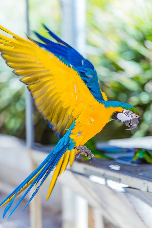 Flying blue and yellow macaw
