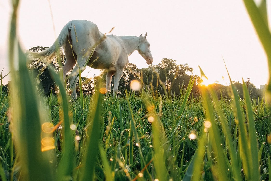 White horse on grassy meadow
