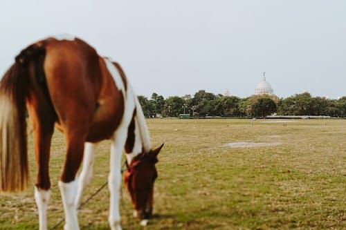 Horse grazing in green field
