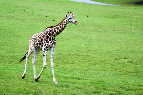 Free stock photo of animal, animal park, animal photography, baby giraffe
