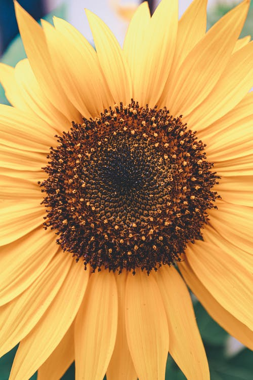 Bright sunflower with lots of small petals