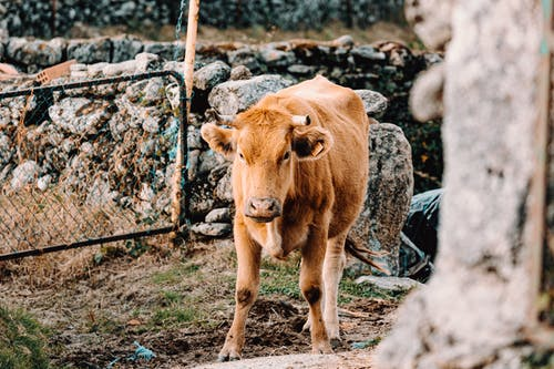 Brown cow near chain link fence and bunch of stones