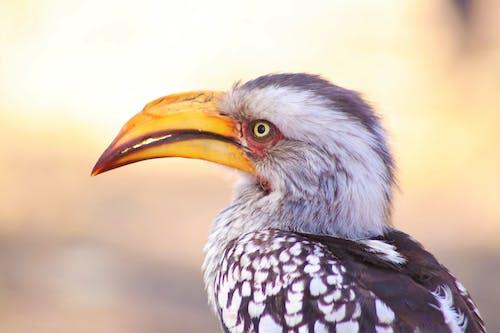 Close Up of Hornbill
