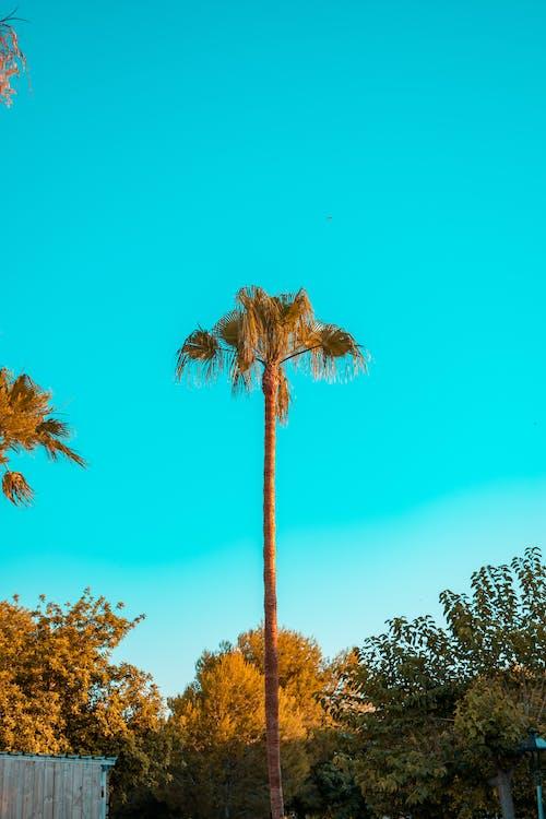 棕櫚, 棕櫚樹, 樹 的 免費圖庫相片