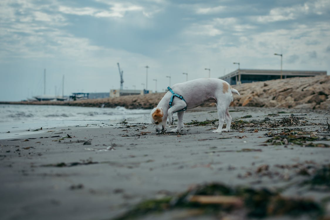 White and Tan Jack Russell Terrier on Beach Shore